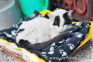 Colletta in un condominio di Turate per salvare un gatto randagio: ma il micio non ce l'ha fatta - Corriere di Como