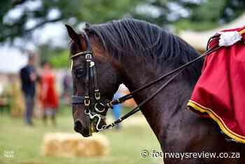 SA Lipizzaners introduce bay stallion Siglavy Arva I - Fourways Review