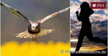 Greifvogel attackiert Joggerin in Laupheim - Schwäbische