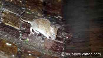 Surge in inquiries about rodents during lockdown, Rentokil says