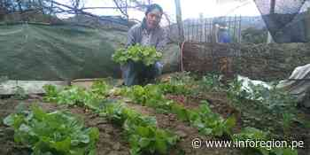 Huancavelica: 400 familias cultivan hortalizas orgánicas en Pomacocha - INFOREGION