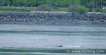 A Whale Swam Way Up The St. Lawrence & It's The First Time One That Big Got So Far (PHOTO) - MTL Blog