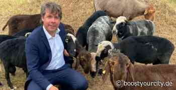 Schafe als natürliche Rasenmäher in Ginsheim-Gustavsburg | BoostyourCity - Aktuelle Nachrichten aus deiner Region - Boost your City