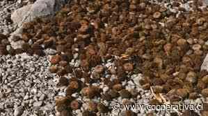 Sernapesca incautó 2.000 kilos de erizo en Calbuco - Cooperativa.cl