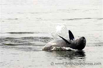 Irrawaddy Dolphin population triples in Odisha's Chilika Lake! Here's IIT Madras' dredging methodology brought Dolphins back