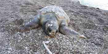 Una tartaruga caretta caretta trovata morta sulla spiaggia - latinaoggi.eu