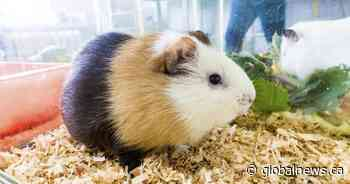 Hunt is on for up to 40 guinea pigs dumped in Waterloo, Ont., park