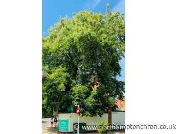 Debate flares up over future of 200-year-old Northampton town centre tree after safety warnings - Northampton Chronicle and Echo