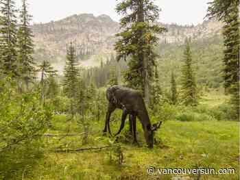 Study finds B.C. logging continues on critical caribou habitat