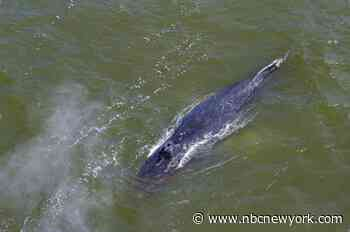 Boat Strikes Surfacing Whale at the Jersey Shore