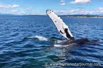 VIDEO: Humpback whales put on quite a show - Barriere Star Journal