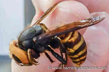 Another Asian giant 'murder hornet' found in Lower Mainland - Barriere Star Journal