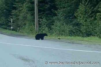VIDEO: Bear catches 'rascally rabbit' for breakfast near Whistler bus stop - Barriere Star Journal