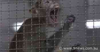 Monkeys snatch blood samples of suspected COVID-19 patients in India - 9News