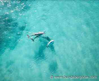 Dolphins playing with calf captured at Bargara – Bundaberg Now - Bundaberg Now