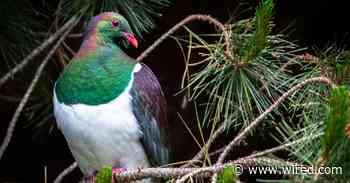 The Quest to Purge New Zealand of Invasive Predators