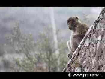 Coronavirus:Gibilterra,scimmie a rischio - La Prealpina