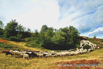 Lite tra pastori, una denuncia a Guastalla - Modena 2000