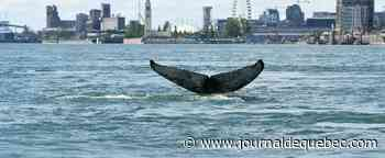 La fameuse baleine à bosse près du pont Jacques-Cartier