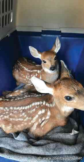 Orphaned fawns rescued in Roberts Creek - Coast Reporter