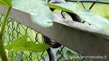 Serpente in condominio nell'area giochi dei bimbi: in pochi giorni 4 esemplari liberati in Brianza - Monza Today