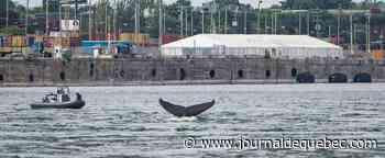 [IMAGES] La fameuse baleine à bosse près du pont Jacques-Cartier