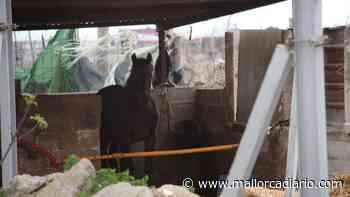 """Los animalistas denuncian el """"pésimo"""" estado de los caballos de galeras en Palma - mallorcadiario.com"""