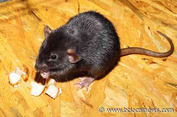 Village of Masset councillor raises concern about increase in rodent complaints - BCLocalNews