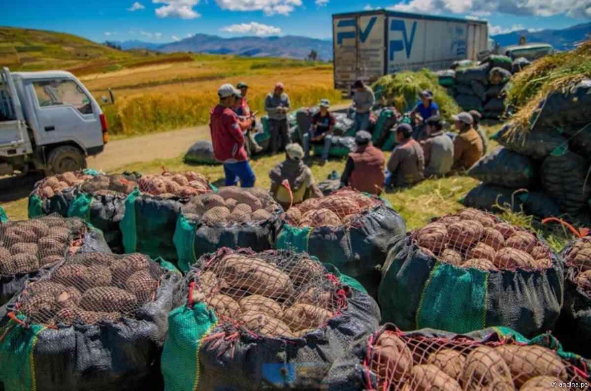 Día Nacional de la Papa: agricultores de San Jerónimo envían 120 toneladas de papa a Lima - Agencia Andina