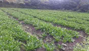 Así se cultivan las espinacas, ricas en vitaminas y minerales - Caracol Radio