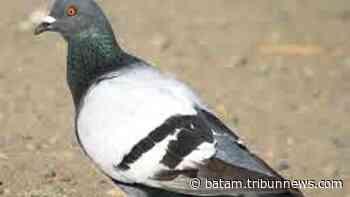 Sejarah Burung Merpati Jadi Pengirim Surat, Awalnya Dilatih Untuk Mengirimkan Pesan ke Militer - Tribun Batam
