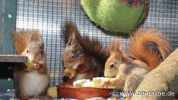 Bereits 37 Tiere aufgenommen: Eichhörnchen-Auffangstation in Oberrodenbach so gefragt wie noch nie - op-online.de
