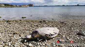 Trovata una tartaruga morta nei pressi della diga di Punta Riso - BrindisiOggi