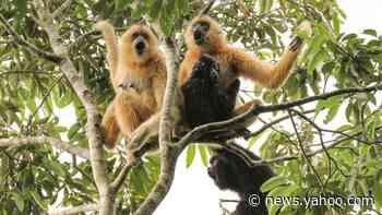 Conservation: Glimmer of hope for world's rarest primate