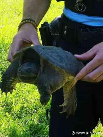 Toulouse: des tortues carnivores découvertes près du canal du Midi - L'Union