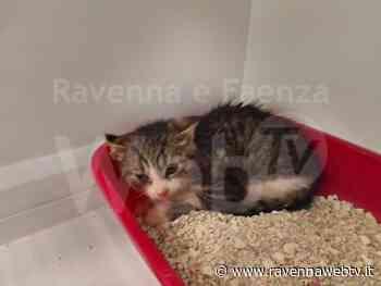 Gattino abbandonato salvato in extremis dai volontari Enpa di Lugo - Ravennawebtv.it