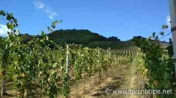 Al via le adozioni in vigna sulle colline di Cesena e Bertinoro - forlinotizie.net