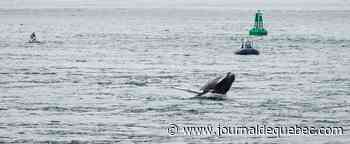 Aperçue dans le Vieux-Port de Montréal: la baleine est arrivée «dans un cul-de-sac»
