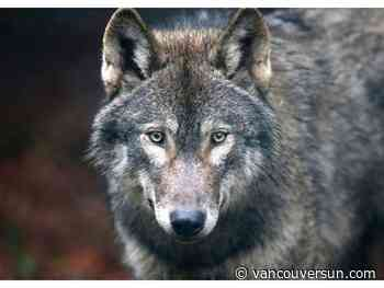 Port Edward man mauled by wolf in rare attack flown to VGH for surgery