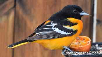 'Quite a surprise': Baltimore Orioles spotted out of range in La Ronge - battlefordsNOW
