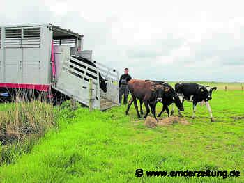 Rinder sollen Brutvögel auf den Weiden schützen - Emder Zeitung