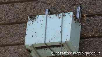 Reggio Emilia, uno sciame d'api sul muro del Vescovado: folla di curiosi per l'avvincente recupero - La Gazzetta di Reggio