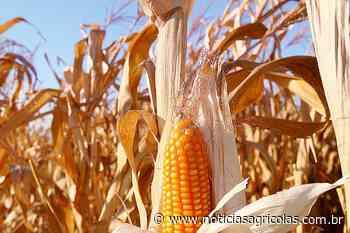 Canarana/MT se prepara para colher o milho e espera aumentar em 5 sacas por hectare a média da safra passada - Notícias Agrícolas