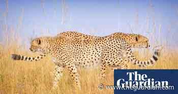 Remembering Cheetahs photography competition – the winners | Environment - The Guardian