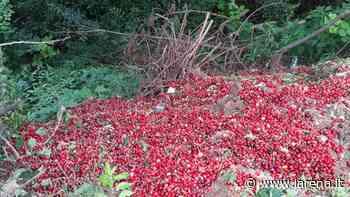 Export fermo e prezzi in calo Le ciliegie finiscono nel vajo - L'Arena