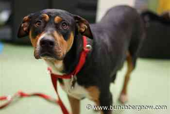 Carla the rottweiler mix is looking for her forever home – Bundaberg Now - Bundaberg Now