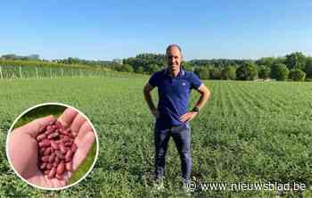 """Boer maakt van droogte een deugd en kiest als eerste in België voor kikkererwten en rode bonen: """"Met wat geluk oogst ik drie ton"""""""