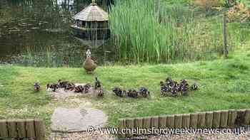 Cute ducklings wake up couple at the quack of dawn - Chelmsford Weekly News