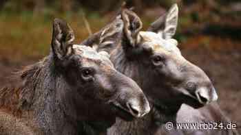 Elch-Zwillinge im Wildpark Schorfheide sind gestorben - Todesursache noch unklar - rbb|24