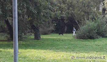 Villasanta, dogo argentino senza guinzaglio aggredisce in pieno centro un uomo e il suo cane - MBnews
